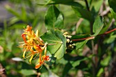 Honeysuckle with flowers in the garden (close-up)