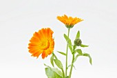 Marigolds (in bloom and in bud)