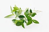Fresh evergreen leaves