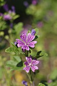 Common mallow (flowering) in a garden