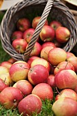 Frisch geerntete Äpfel im Korb und auf der Wiese