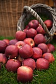 Lots of red apples on grass and in a basket