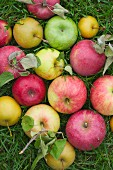 A Variety of Apples in Grass