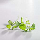 Sprigs of oregano