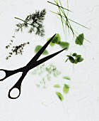 Assorted herb sprigs and scissors