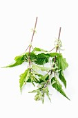 Common stinging nettle (Urtica dioica)