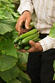 Hands holding freshly harvested cucumbers
