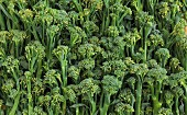 Lots of broccoli florets (filling the image)