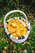 Fresh chanterelle mushrooms in a basket on a forest floor