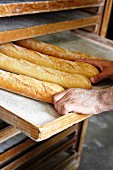 Freshly baked baguettes in the bakery