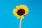 Sunflower on Blue Background