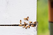 Several bees on a wall