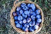 Fresh plums in a basket in a field