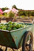 Wagon Full of Apples