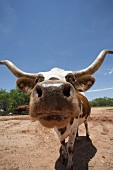 Longhorn Cow Portrait, Close-Up