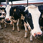 Tagged Cows, Close-Up
