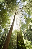 Redwood Trees and Sunlight, Low Angle View, Redwood National Park, California, USA