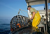 Lobsterman Hauling Trap With Lobsters
