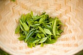 Woven Basket of Fresh Tea Leaves