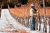 Chardonnay Reben beschneiden im Weinberg von William Fevre, Maipo Valley, Chile