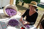 Frau sammelt Fäden von Safrankrokussen (Safran de Bordeaux) in Gironde, Frankreich