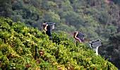 Weinlese am Hügel im Santa Teresa Weinberg von Quinta do Crasto, Portugal