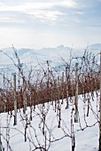 Vineyard in Winter, Italy