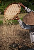 Man Sorting Rice During Harvest, Bali, Indonesia