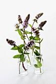 Flowering sprigs of peppermint in glasses