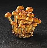 Brick cap mushrooms (Hypholoma Sublateritium)