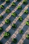 Orangenplantage aus der Vogelperspektive