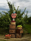 Apples and Orchard