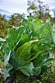 Spring cabbage - growing.