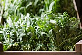 Bunches of fresh rocket in a crate