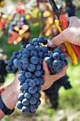 Harvesting Nebbiolo grapes in vineyard of E. Pira E Figli, Barolo, Piemonte, Italy