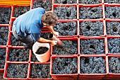 Taking samples of Nebbiolo grapes for laboratory analysis, E Pira E Figli, Barolo, Piemonte, Italy