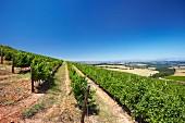 Sauvignon Blanc Weinberg von Oak Valley Estate, Elgin, Western Cape, Südafrika