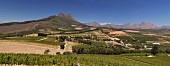 Sauvignon Blanc vineyard of Warwick Estate to the Simonsberg with the Stellenbosch Mountains in distance, Stellenbosch, Western Cape, South Africa