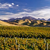 Mount Tapuae-O-Uenuku viewed from vineyard of Ballochdale Estate in the early autumn. Upper Awatere Valley, Marlborough, New Zealand