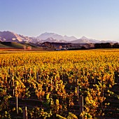 Vineyards of Nobilo in the Awatere Valley, Marlborough, New Zealand