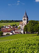 Pinot Noir in the Clos des Bergeronneau vineyard of Champagne Florent Bergeronneau-Marion. Ville-Dommange, Marne, France, Champagne