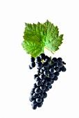 Regent grapes with a vine leaf