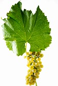 Solaris grapes with a vine leaf