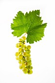 Bianca grapes with a vine leaf