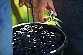 Blaufränkisch grapes (Südburgenland, Austria)