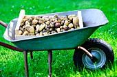 Holzkiste mit frisch geernteten Kartoffeln in Schubkarre auf Wiese