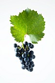Zweigelt grapes with a vine leaf