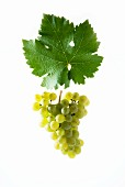 Kerner grapes with a vine leaf