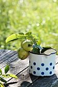 Grüne Klaräpfel mit Blättern in altem Emailletopf