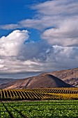 Chardonnay vineyards and the volcanic Islay Hill. San Luis Obispo, California. [Edna Valley]